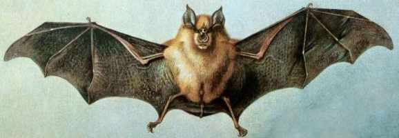 The Greater Horseshoe Bat.