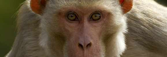 A Rhesus Monkey.  Self-aware?
