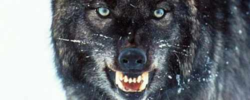 The Alpha wolf symbolizes death at the end of the film