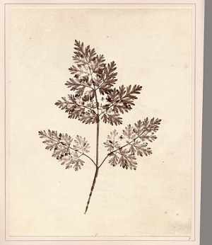"A detailed scientific photograph of a plant from Henry Fox Talbot's ""The Pencil of Nature"" (1844)"