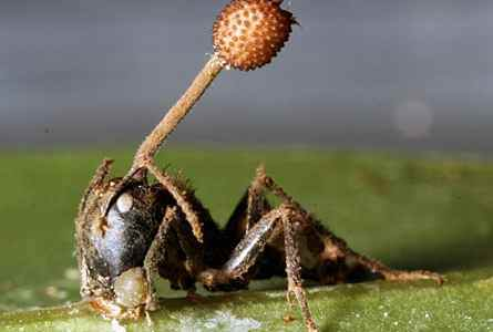 An ant, infected with Ophiocordyceps unilateralis, sprouting a fruiting body.