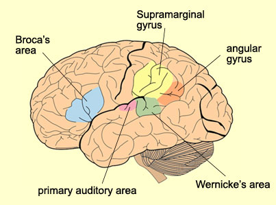 Good 'ole right supra marginal gyrus, highlighted in yellow, his favorite color